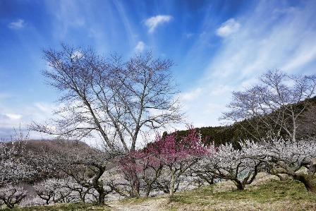 高杉晋作が好きだった梅の花